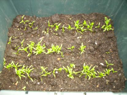 Autumn King 2 Carrot Seedlings 5 weeks old