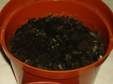 Jessies Mini Garden - Florian Strawberry Seedlings