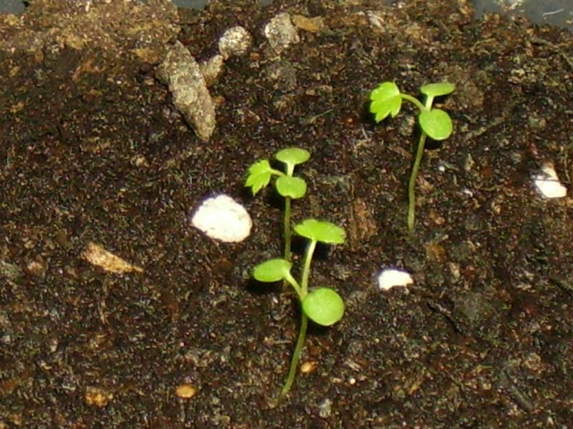Strawberry Alexandria Seedlings 2 weeks old